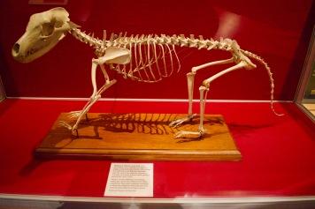 Thylacine, a carnivorous marsupial
